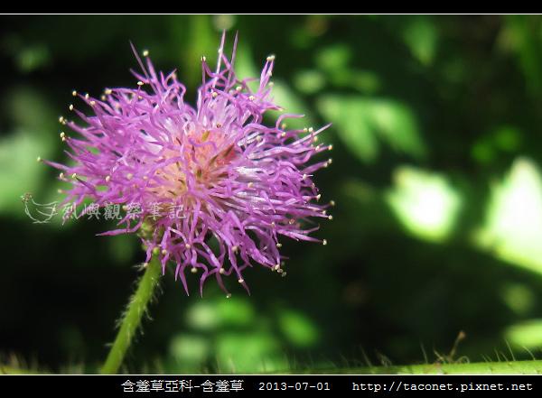 豆科-含羞草_11.jpg