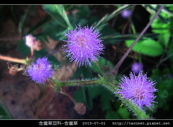 豆科-含羞草_12.jpg