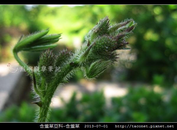 豆科-含羞草_14.jpg