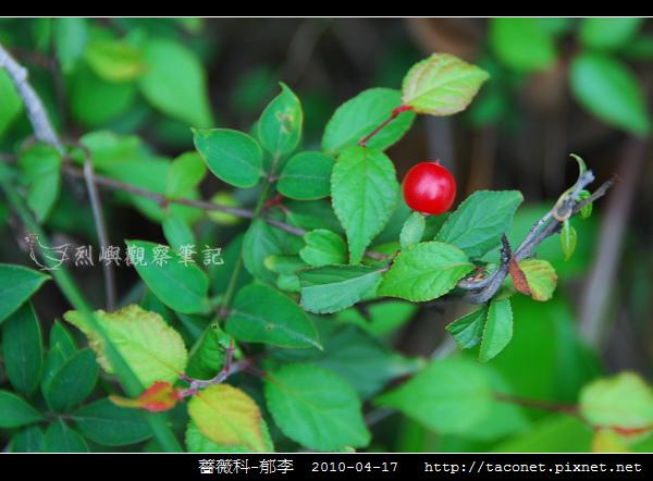 薔薇科-郁李_03.jpg