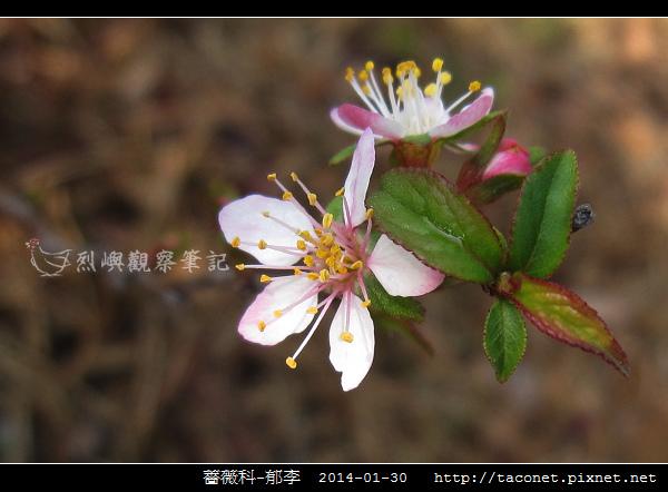 薔薇科-郁李_05.jpg