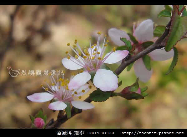 薔薇科-郁李_07.jpg