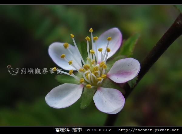薔薇科-郁李_08.jpg