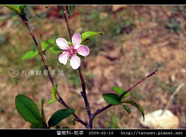 薔薇科-郁李_09.jpg