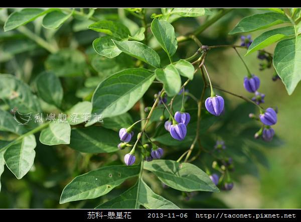 茄科-懸星花_02.jpg