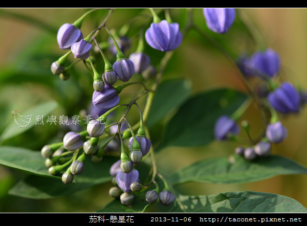 茄科-懸星花_03.jpg