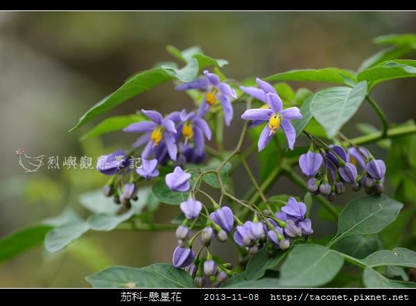 茄科-懸星花_05.jpg