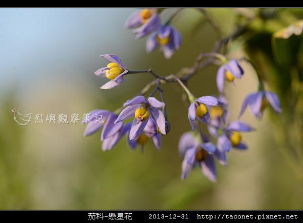 茄科-懸星花_07.jpg