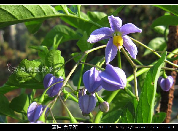 茄科-懸星花_09.jpg