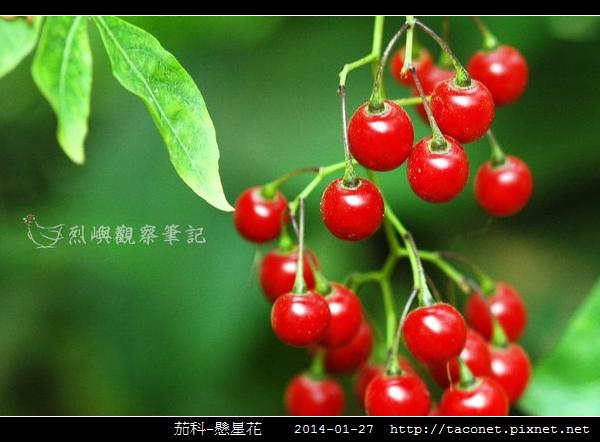 茄科-懸星花_12.jpg