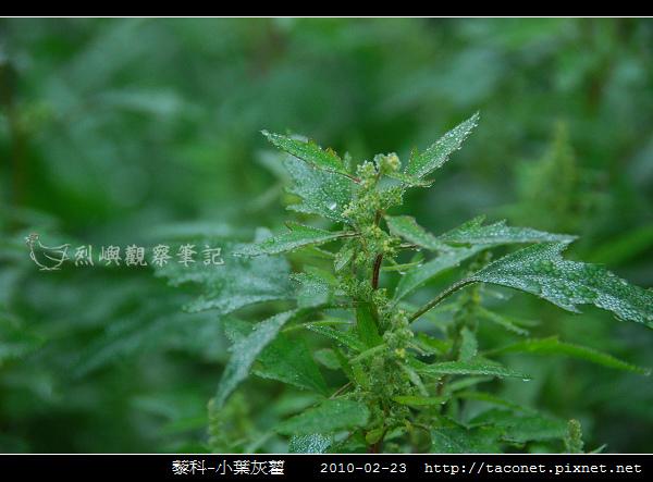 藜科-小葉灰藋_01.jpg