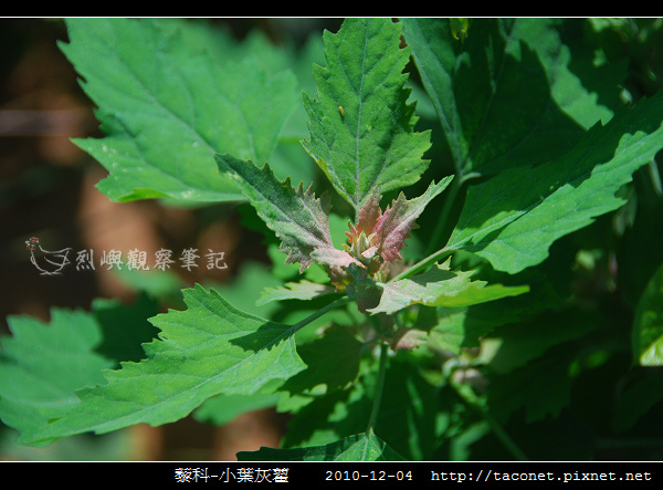 藜科-小葉灰藋_02.jpg