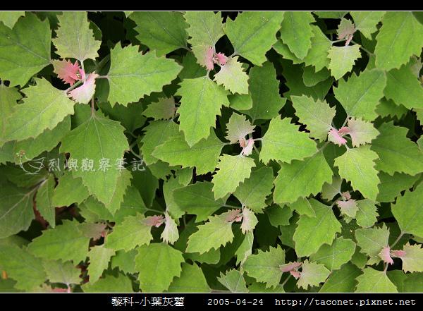 藜科-小葉灰藋_05.jpg