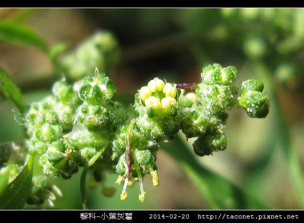 藜科-小葉灰藋_06.jpg