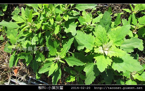 藜科-小葉灰藋_08.jpg