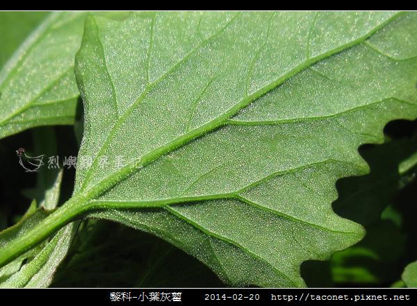 藜科-小葉灰藋_10.jpg