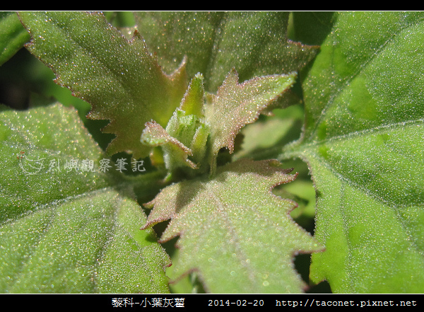 藜科-小葉灰藋_09.jpg