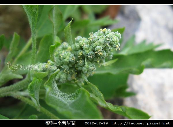 藜科-小葉灰藋_12.jpg