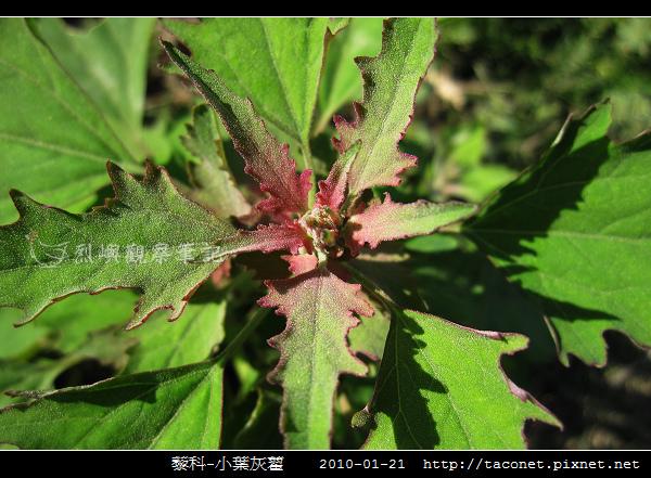 藜科-小葉灰藋_13.jpg