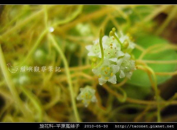 旋花科-平原菟絲子-05.jpg