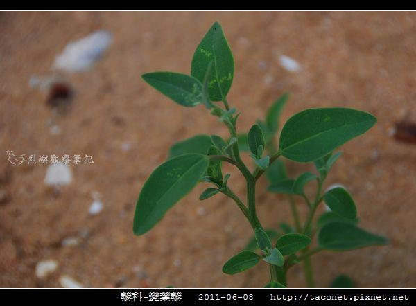 藜科-變葉藜_01.jpg