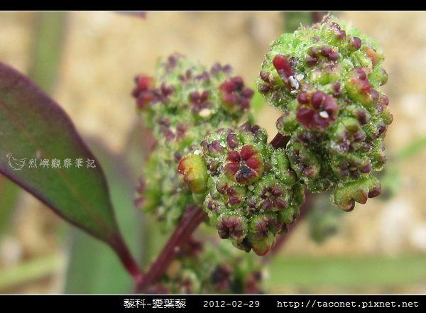 藜科-變葉藜_05.jpg