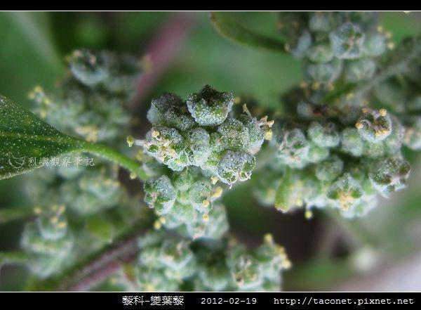 藜科-變葉藜_04.jpg