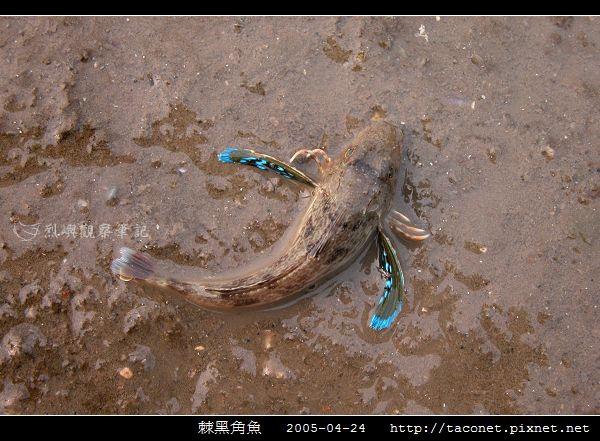 棘黑角魚_01.jpg