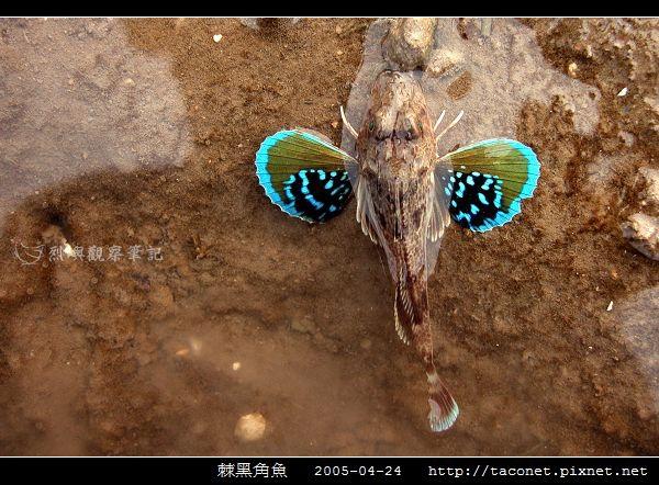 棘黑角魚_02.jpg