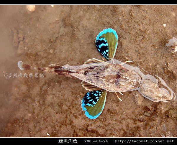棘黑角魚_03.jpg