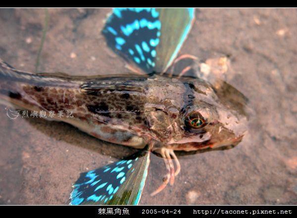 棘黑角魚_05.jpg
