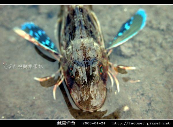 棘黑角魚_04.jpg