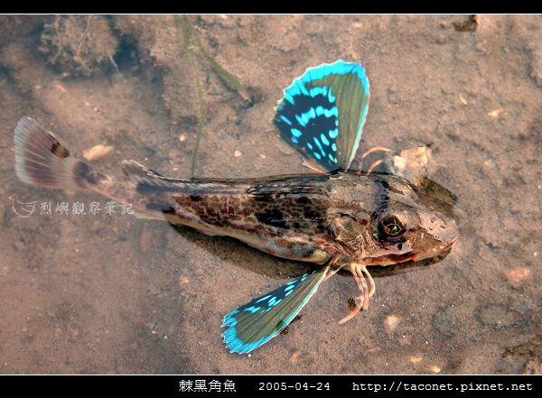 棘黑角魚_06.jpg