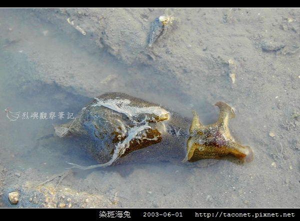 染斑海兔_06.jpg