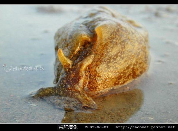 染斑海兔_04.jpg