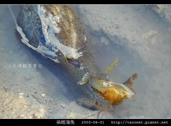染斑海兔_05.jpg
