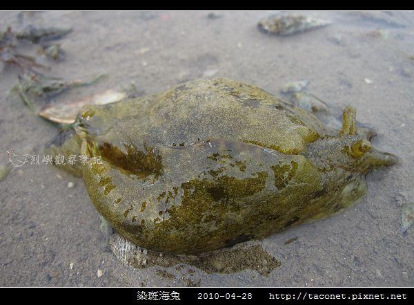 染斑海兔_08.jpg