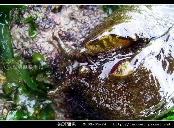 染斑海兔_10.jpg