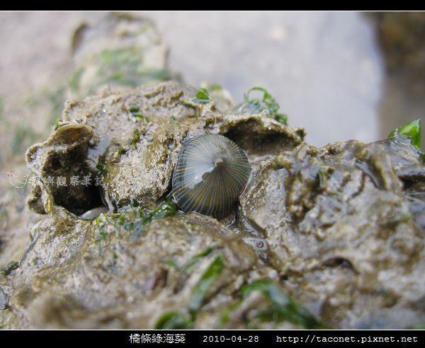 橘條綠海葵_06.jpg