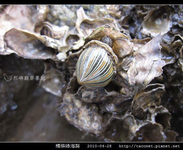 橘條綠海葵_07.jpg