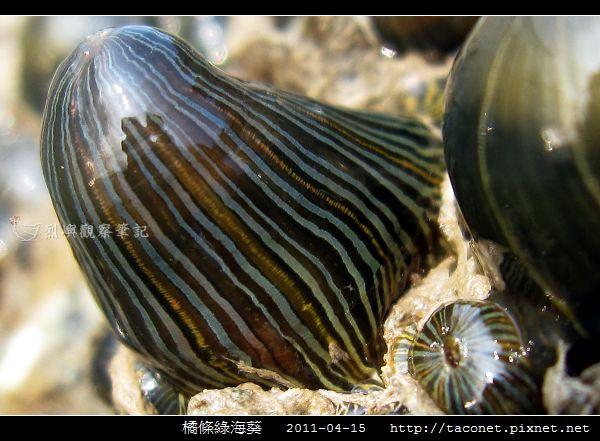 橘條綠海葵_08.jpg