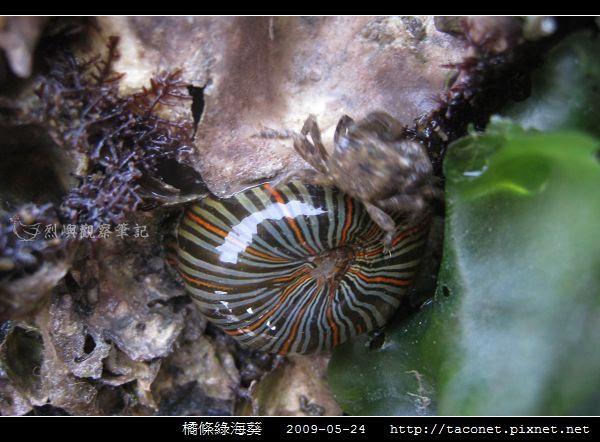 橘條綠海葵_09.jpg