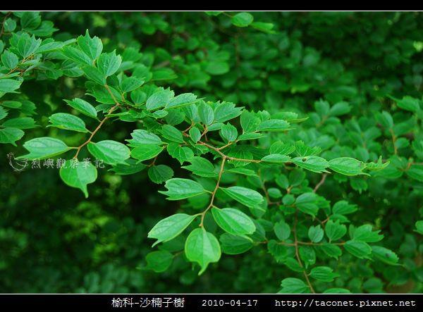 榆科-沙楠子樹_02.jpg