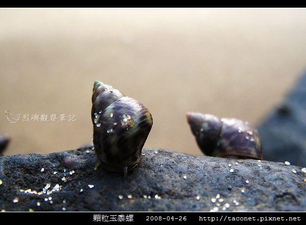 玉黍螺_03.jpg
