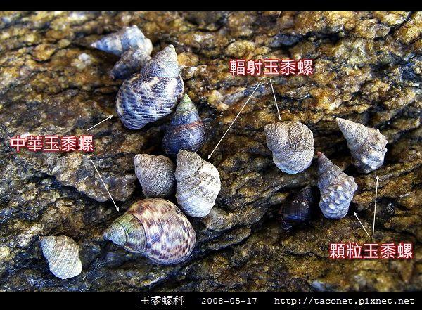 玉黍螺_06.jpg