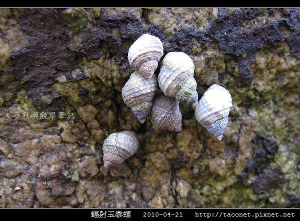 玉黍螺_07.jpg