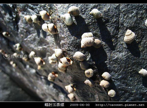 玉黍螺_09.jpg