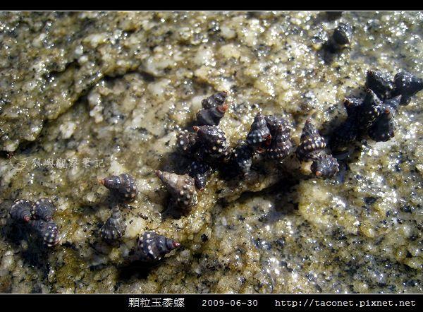 玉黍螺_08.jpg
