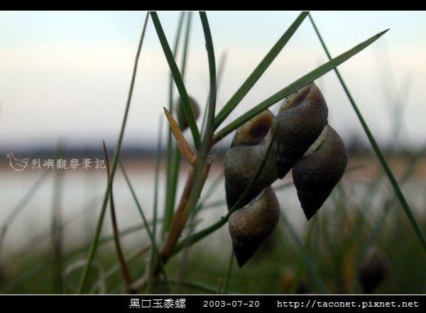 玉黍螺_11.jpg