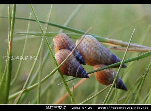 玉黍螺_12.jpg